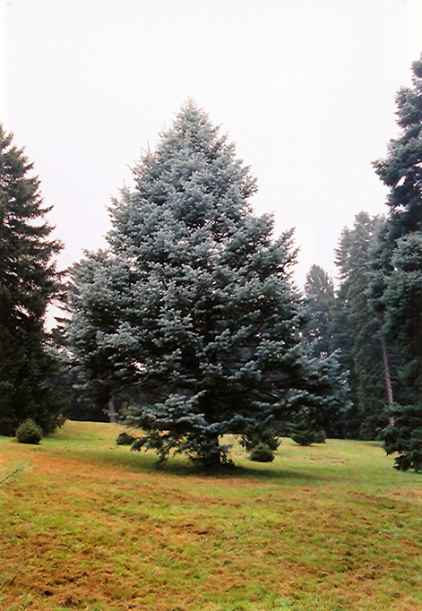 Candicans White Fir Abies Concolor Candicans In Denver