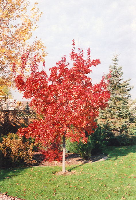 Embers Amur Maple Acer Ginnala Embers In Denver