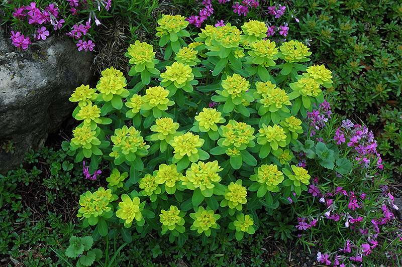 Cushion Spurge (Euphorbia Polychroma) At Tagawa Gardens