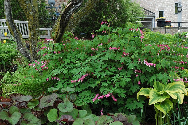 Common Bleeding Heart Dicentra spectabilis in Denver Centennial – Plant World Nursery and Garden Center