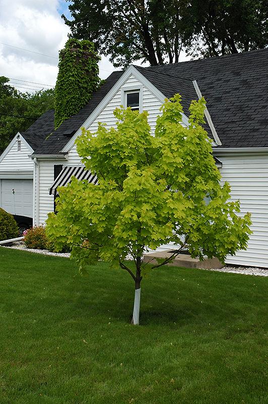 Princeton Gold Maple Acer Platanoides Princeton Gold