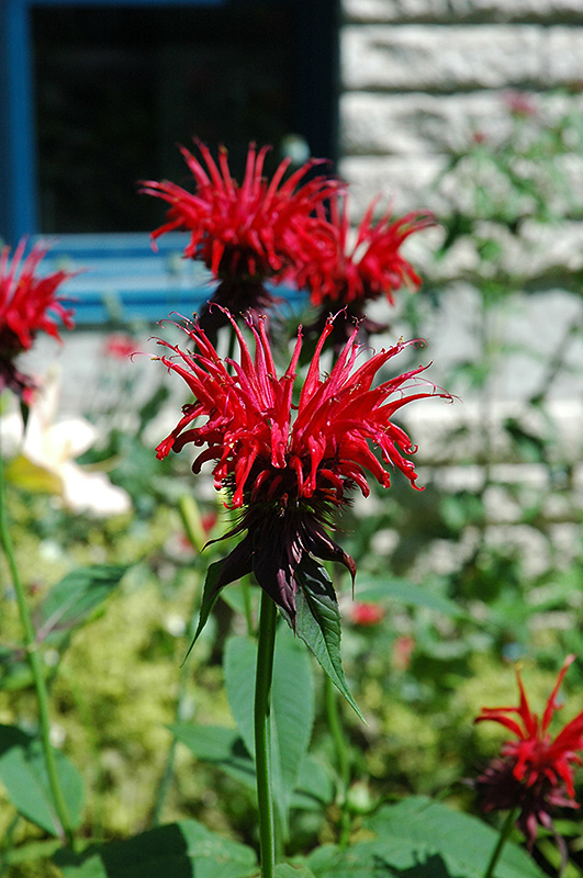 Jacob Cline Beebalm (Monarda \'Jacob Cline\') in Denver Centennial ...