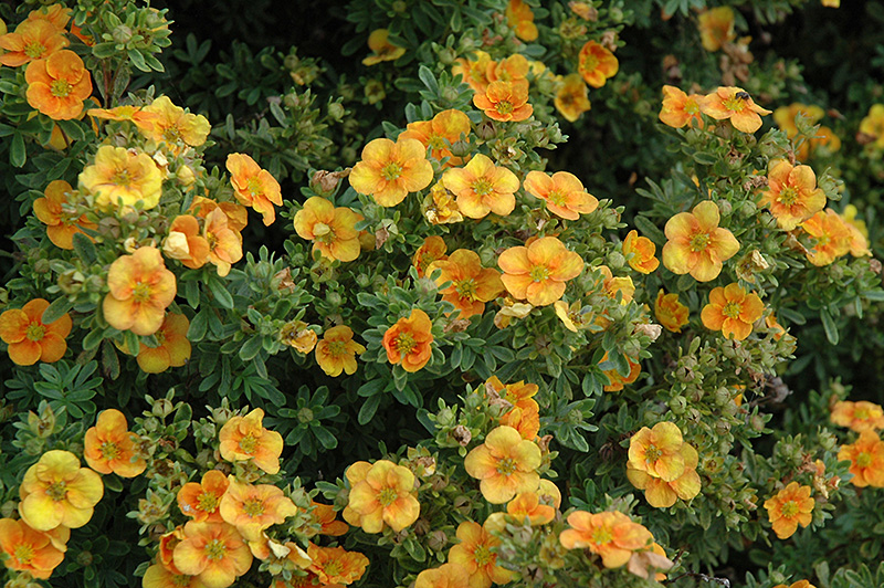 Mango tango potentilla potentilla fruticosa mango tango in mango tango potentilla potentilla fruticosa mango tango at tagawa gardens mango tango potentilla flowers mightylinksfo