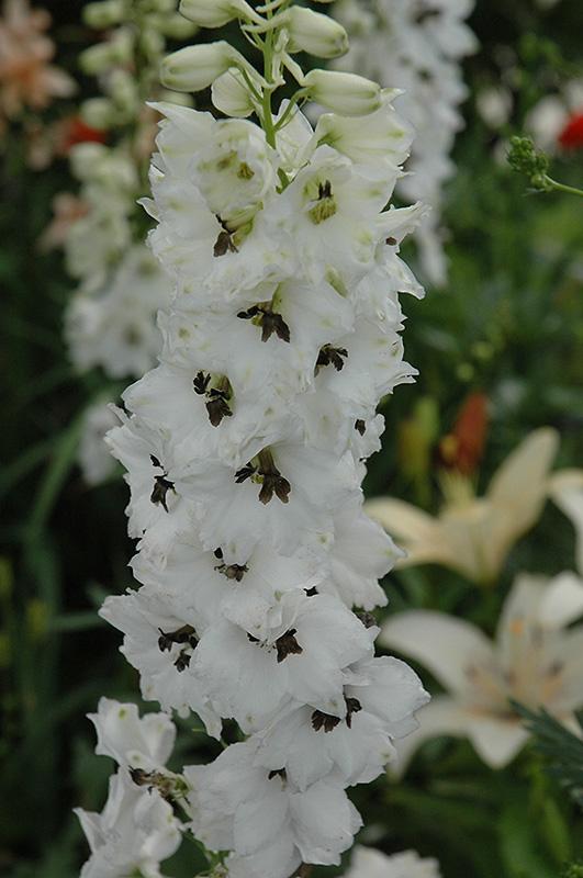 Magic fountains white dark bee larkspur delphinium magic fountains magic fountains white dark bee larkspur delphinium magic fountains white dark bee mightylinksfo