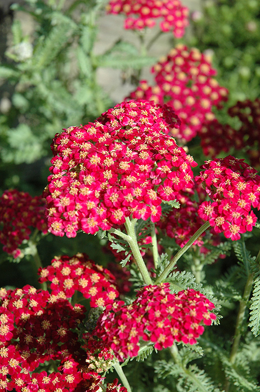 Red Velvet Yarrow (Achillea Millefolium U0027Red Velvetu0027) At Tagawa Gardens