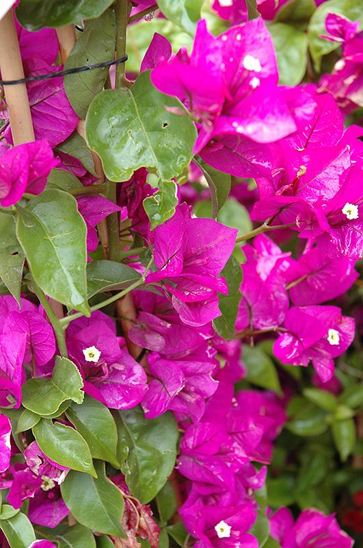 Purple Queen Bougainvillea Moneth At Tagawa Gardens