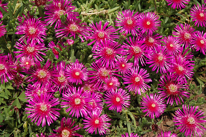 Purple Ice Plant (Delosperma Cooperi) At Tagawa Gardens