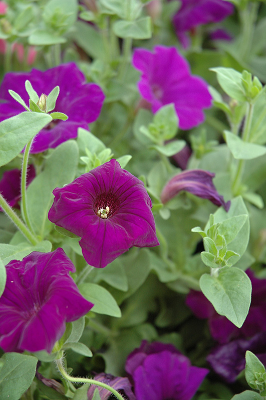Supertunia® Royal Velvet® Petunia (Petunia \'Supertunia Royal Velvet ...
