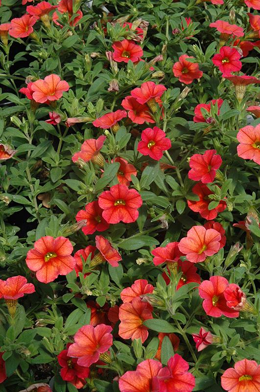 Can Can Orange Calibrachoa Calibrachoa 39 Can Can Orange 39 In Denver Centennial Littleton Aurora