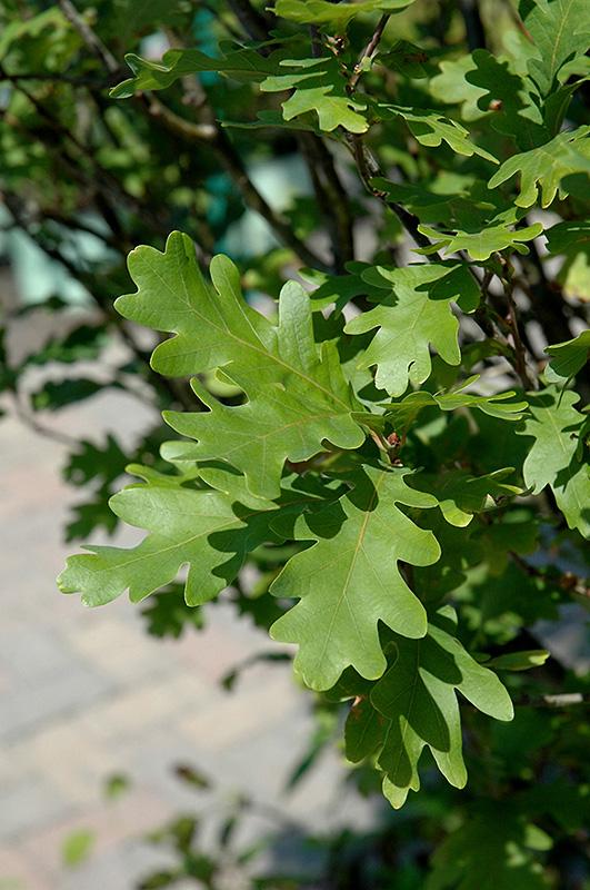 Crimson Spire Oak Quercus Crimson Spire In Denver