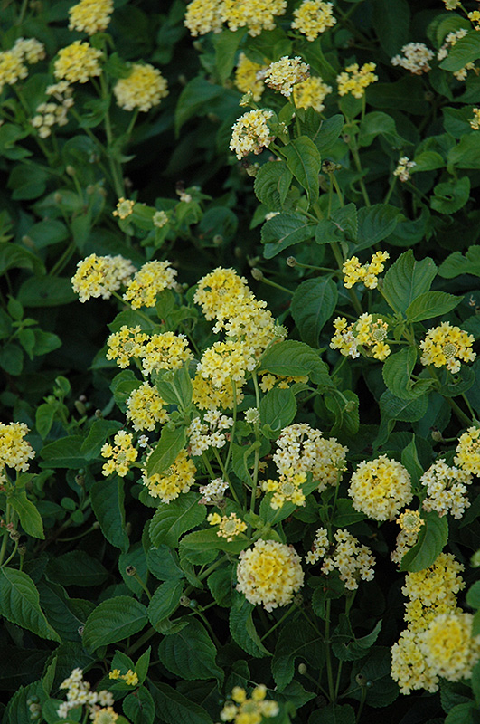 Landmark Yellow Lantana (Lantana camara \'Landmark Yellow\') in Denver ...