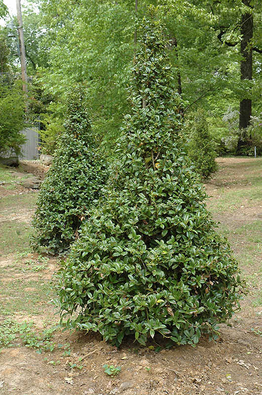 Castle Spire Meserve Holly Ilex X Meserveae Hachfee In