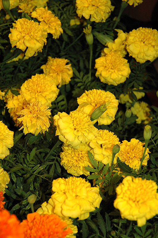 Little Hero Yellow Marigold Tagetes Patula Little Hero