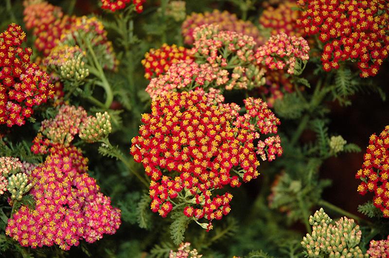 New Vintage Red Yarrow (Achillea Millefolium U0027Balvinredu0027) At Tagawa Gardens