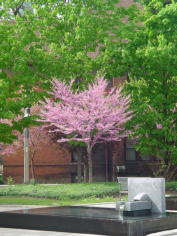 Eastern Redbud Tree Form Cercis Canadensis