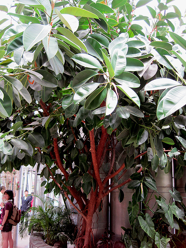 Rubber Tree Ficus Elastica In Denver Centennial