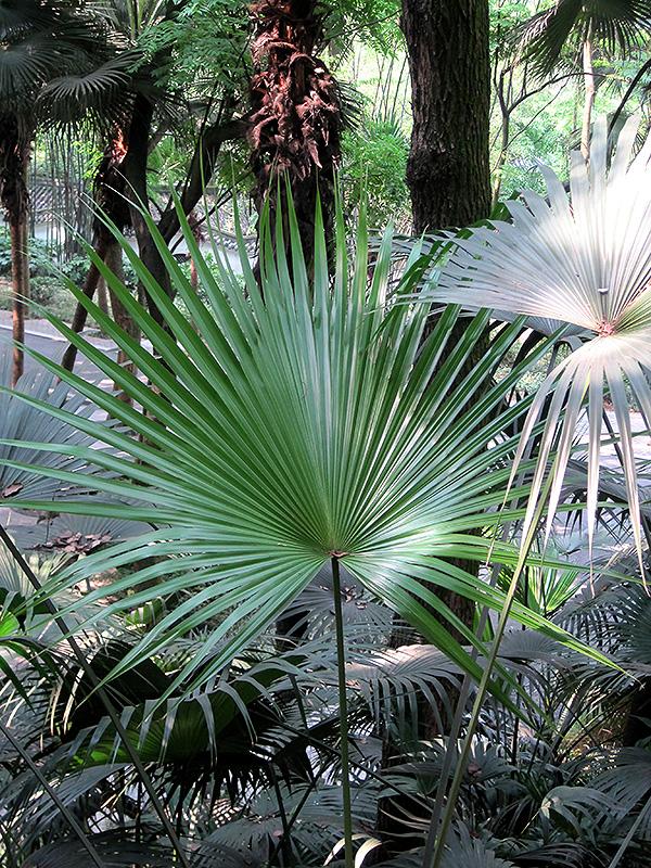 chinese fan palm fruit - photo #18