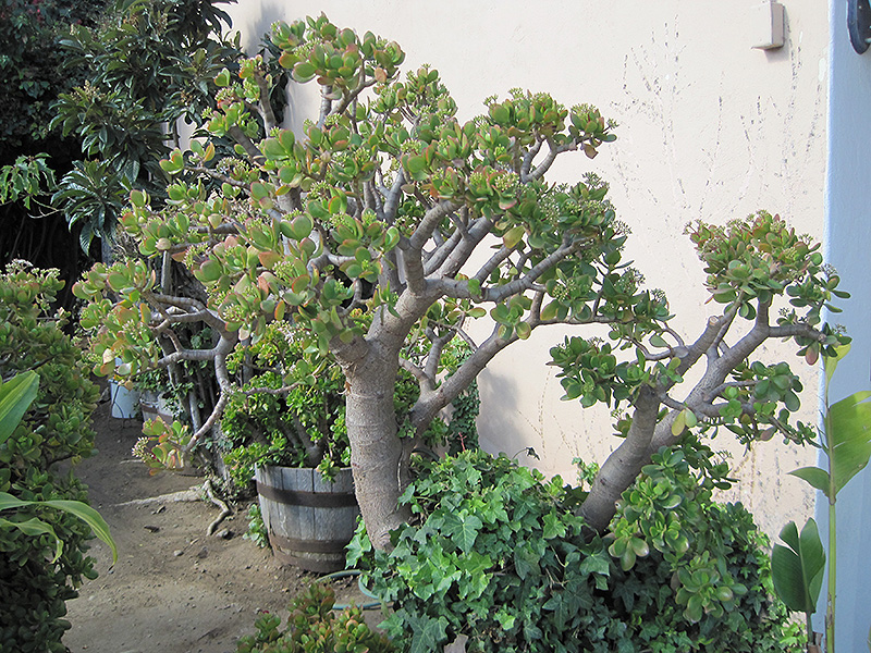 Jade Plant Crassula Ovata In Denver Centennial Littleton