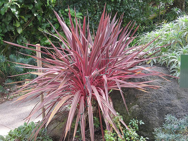 Electric Pink Cordyline Cordyline Banksii Sprilecpink