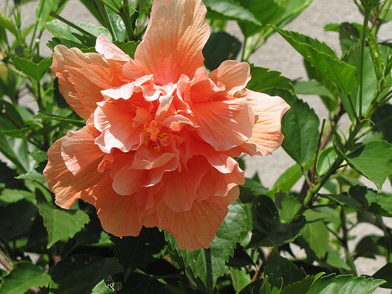 Double peach hibiscus hibiscus rosa sinensis 39 double for Hibiscus rosa sinensis