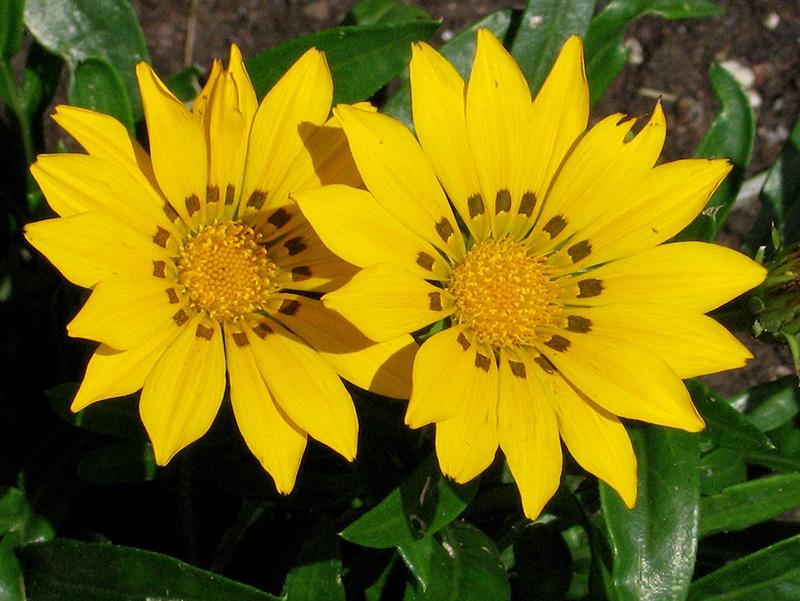 Daybreak bright yellow gazania gazania daybreak bright yellow in daybreak bright yellow gazania gazania daybreak bright yellow at tagawa gardens mightylinksfo
