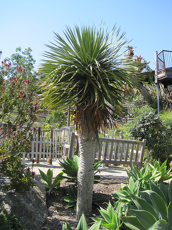 Dragon Tree Dracaena Draco In Denver Centennial
