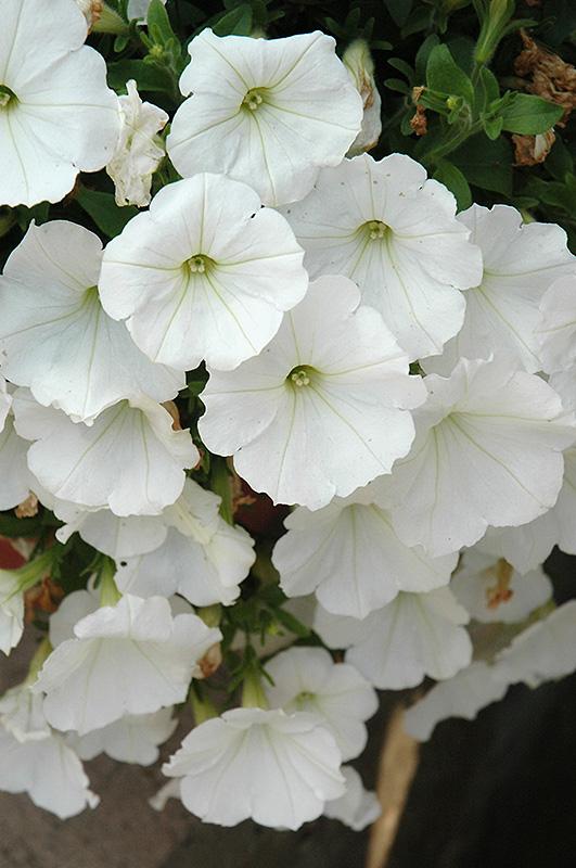 Surprise White Petunia Petunia Surprise White In Denver