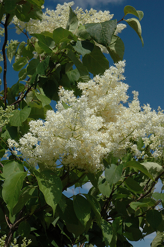 Ivory Silk Tree Lilac (tree Form) (Syringa Reticulata U0027Ivory Silk (tree