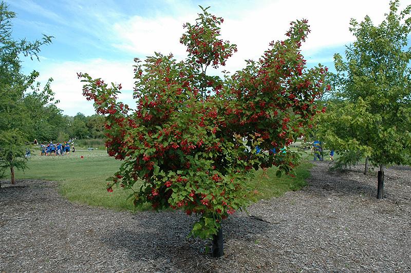 Hot Wings Tatarian Maple (Acer tataricum \'GarAnn\') in Denver ...