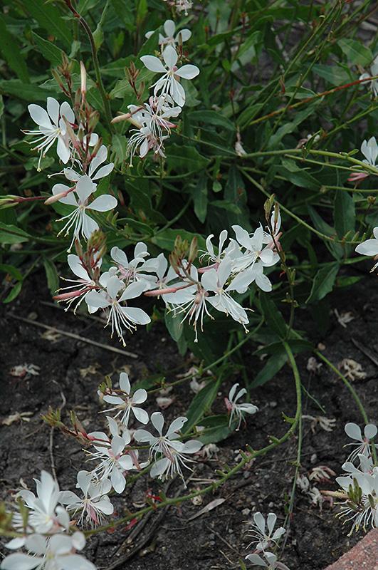 Sparkle white gaura gaura lindheimeri sparkle white in denver sparkle white gaura gaura lindheimeri sparkle white at tagawa gardens sparkle white gaura flowers mightylinksfo