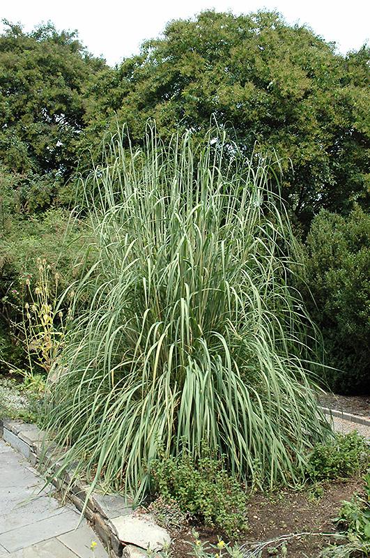 Hardy pampas grass erianthus ravennae in denver for Hardy grasses for the garden