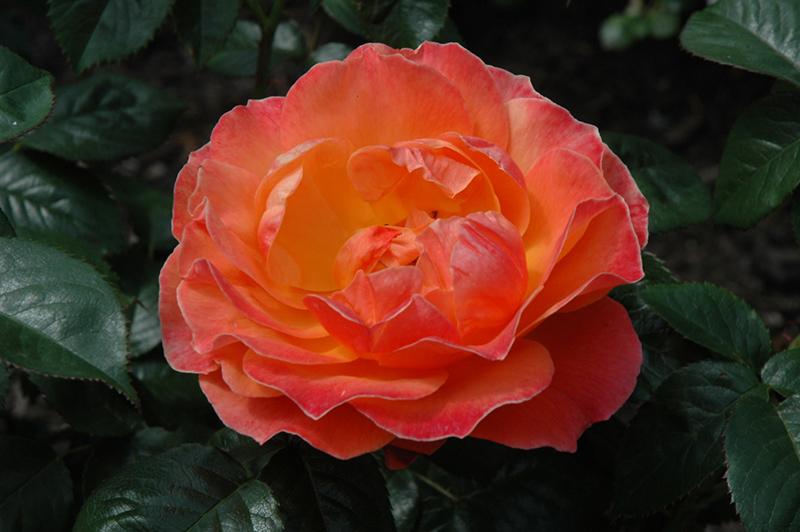 Simple Rose Garden: Livin' Easy Rose (Rosa 'Livin' Easy') In Denver Centennial