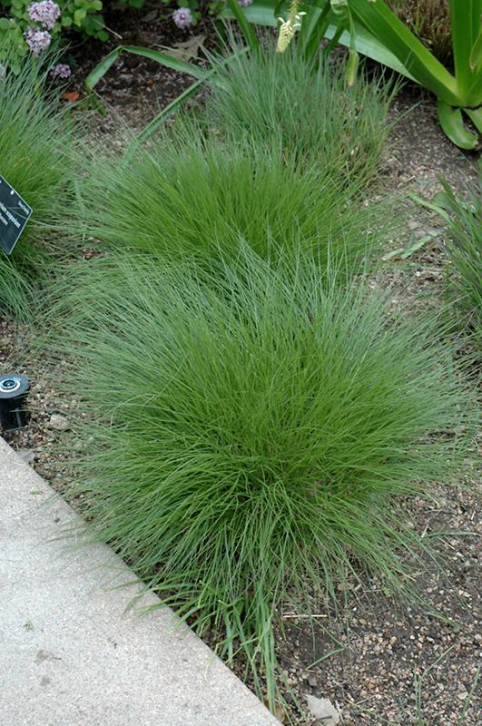 Little bluestem schizachyrium scoparium in denver centennial little bluestem schizachyrium scoparium at tagawa gardens workwithnaturefo
