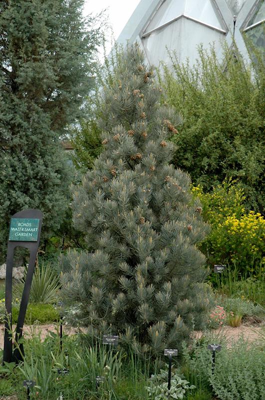 Singleleaf Pinyon Pine Pinus Monophylla In Denver