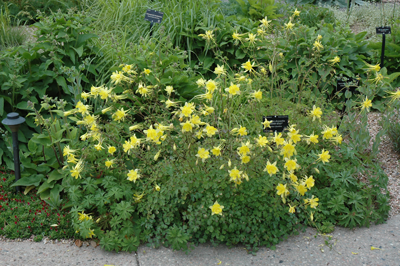 Denver Gold Columbine (Aquilegia Chrysantha U0027Denver Goldu0027) At Tagawa Gardens