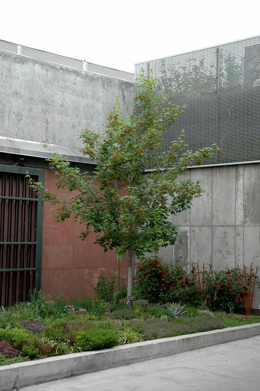Bigtooth Maple Acer Grandidentatum In Denver Centennial