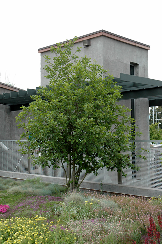 Mountain Alder Alnus Tenuifolia In Denver Centennial