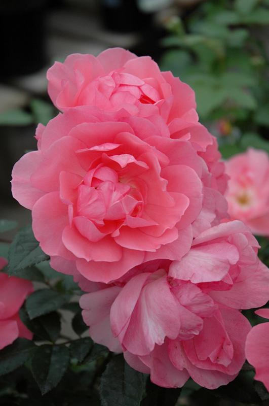 passionate kisses rose rosa meizebul in denver centennial