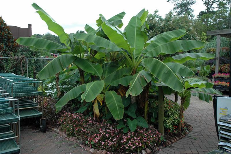 Anese Banana Musa Basjoo At Tagawa Gardens
