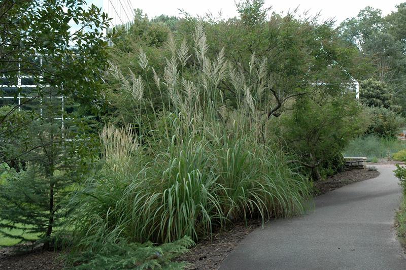 Hardy pampas grass erianthus ravennae in denver for Hardy perennial grasses