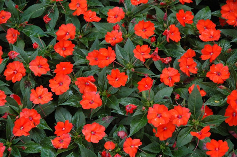 Sunpatiens compact orange new guinea impatiens impatiens New guinea impatiens
