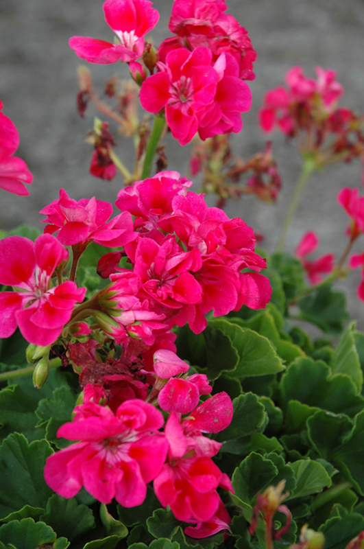 Survivor hot pink geranium pelargonium survivor hot pink in survivor hot pink geranium pelargonium survivor hot pink at tagawa gardens mightylinksfo