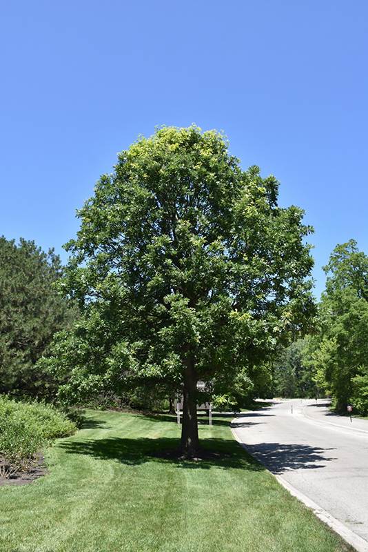 Bur Oak (Quercus macrocarpa) in Denver Centennial Littleton Aurora ...
