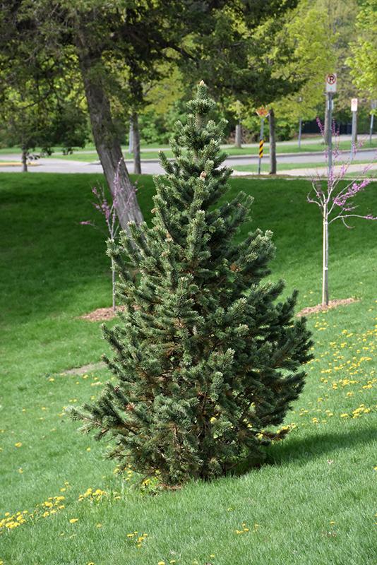 Formal Form Bristlecone Pine Pinus Aristata Formal Form