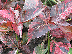 Tricolor Copper Plant (Acalypha wilkesiana 'Tricolor') at Tagawa Gardens