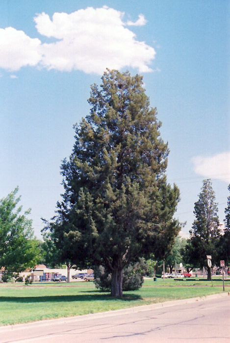 Rocky Mountain Juniper Juniperus Scopulorum In Denver