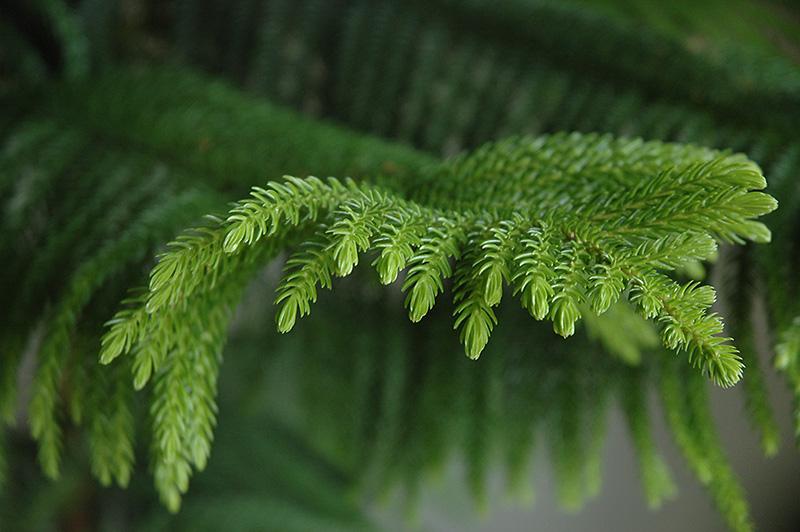 Norfolk Island Pine Araucaria Heterophylla In Denver