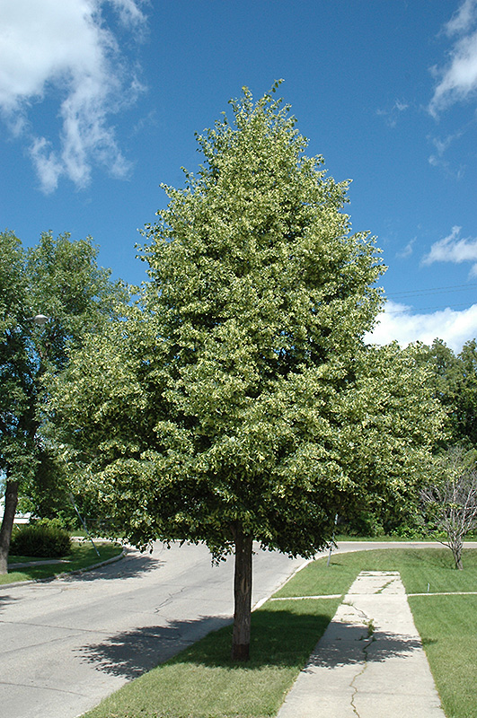 Greenspire Linden Tilia Cordata Greenspire In Denver