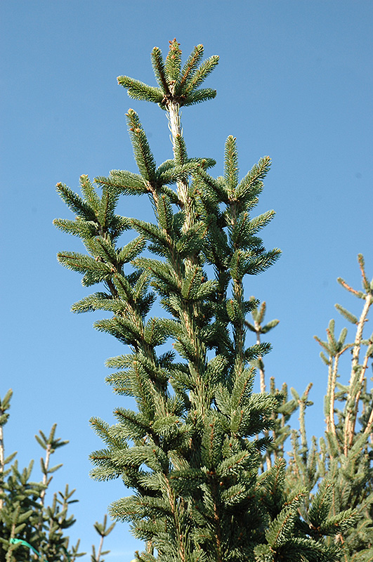 Columnar Norway Spruce Picea Abies Cupressina In Denver