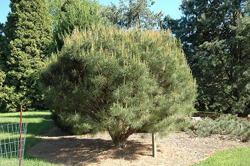 Compact Japanese Umbrella Pine Pinus Densiflora